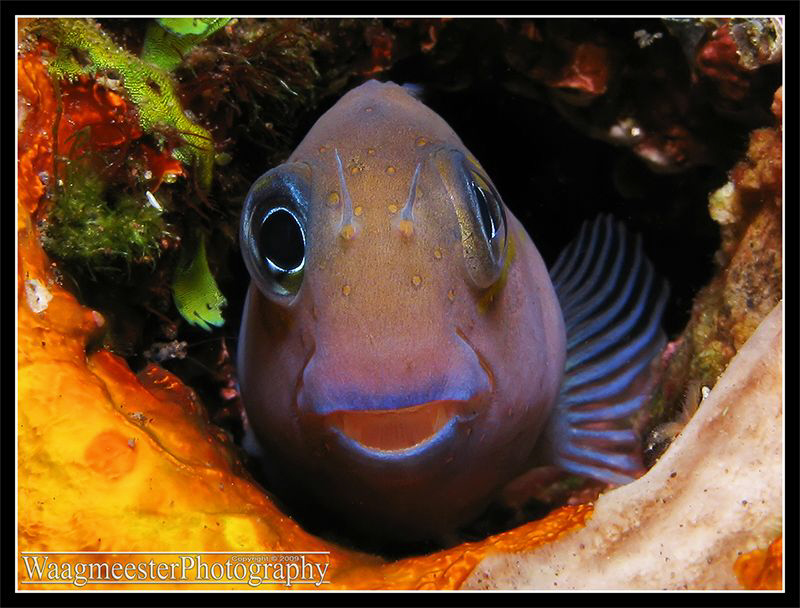 Blenny having a look at me.. - Tulamben, Bali (Canon G9, ... by Marco Waagmeester