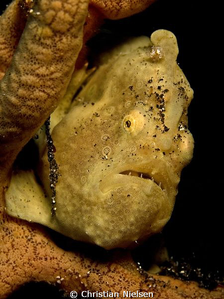 We found this little frogfish on 20 meters of water. A li... by Christian Nielsen