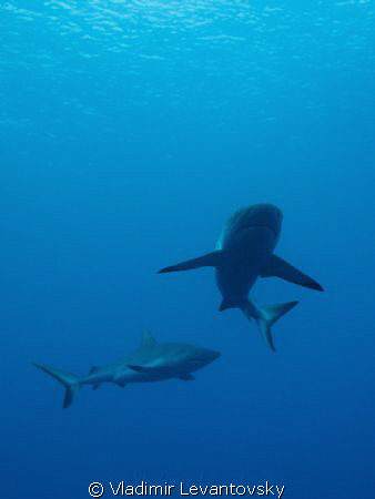 Two (out of many) reef sharks patroling the waters of the... by Vladimir Levantovsky