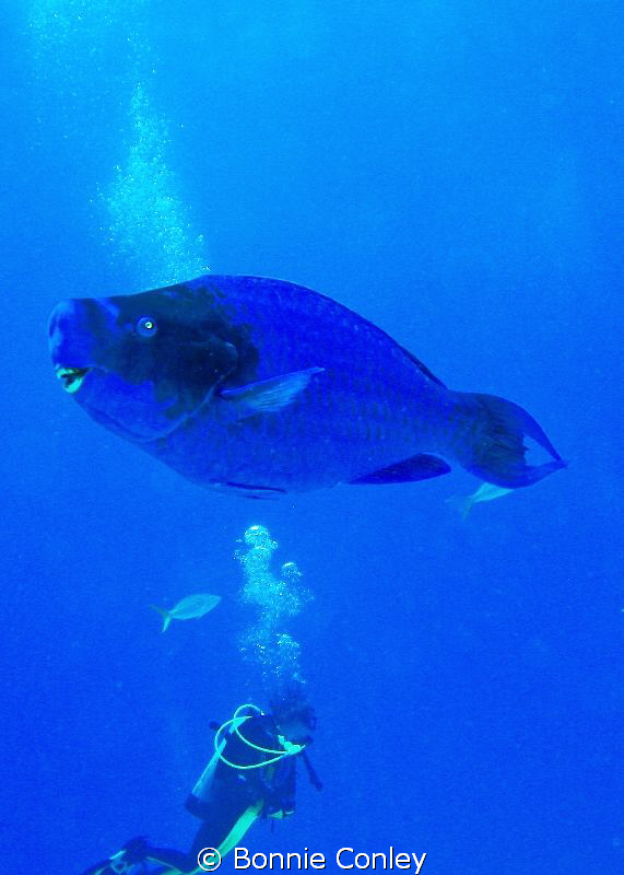 Parrotfish seen in Freeport Bahamas May 2009. Photo taken... by Bonnie Conley