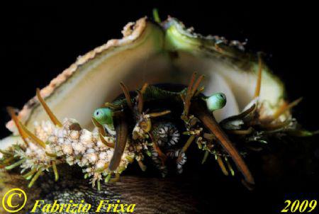 The first floor of a gastropod mollusk, Haliotis lamellos... by Fabrizio Frixa
