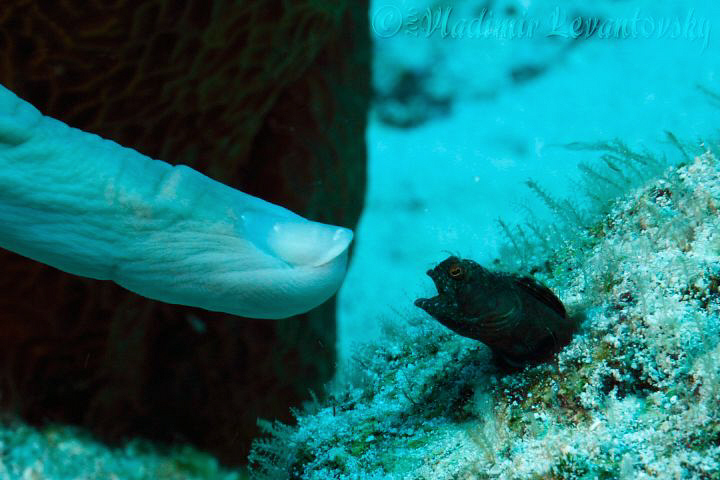 Size doesn't matter! Male Sailfin blenny protecting his t... by Vladimir Levantovsky