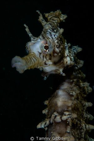 A West Australian seahorse under the Ammo Jetty, south of... by Tammy Gibbs