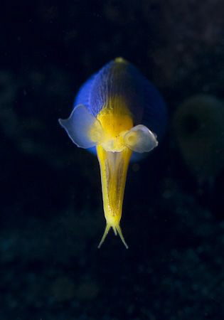 Ribbon Eel at Paradise, Tulamben area by Soren Egeberg