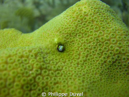 Small little fish hiding in the coral reef of xphua. by Philippe Duval