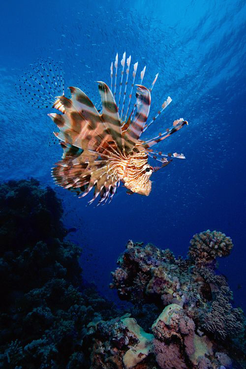 Lionfish, Pterois miles, Red Sea, Egypt. by Jim Garland
