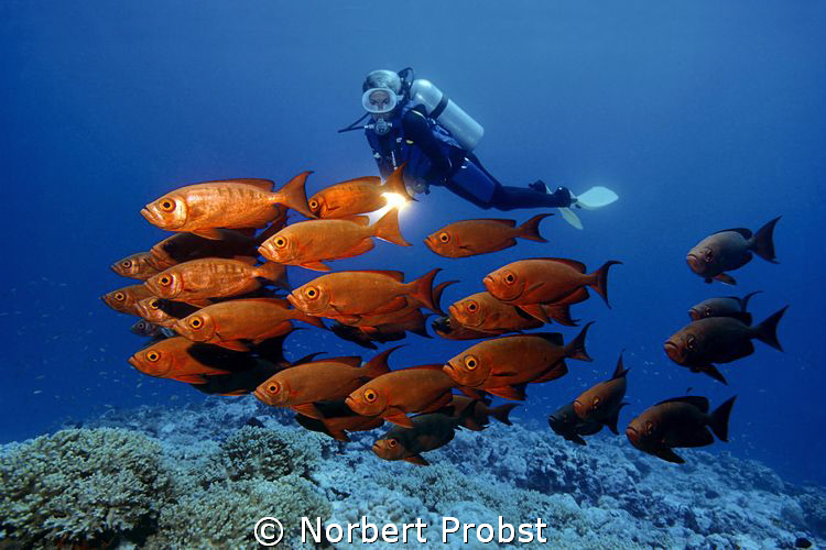 Red Squadron Diver watches a shoal Common Bigeyes (Prian... by Norbert Probst