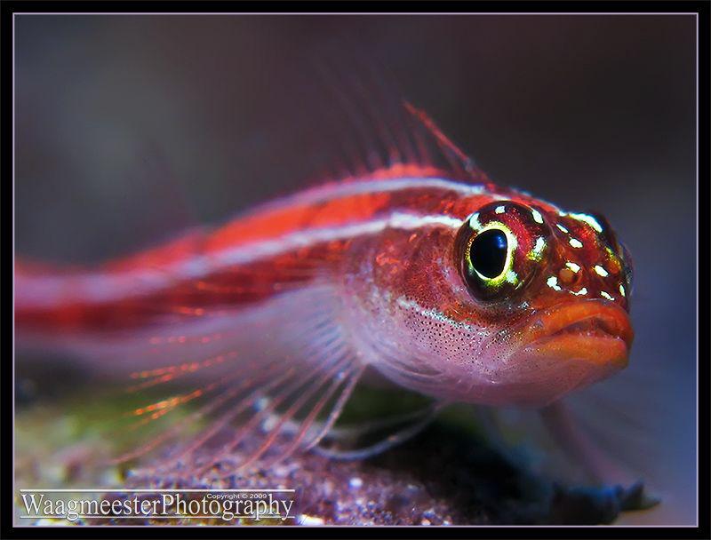 Striped Triplefin (Helcogramma striatum) - Amed, Bali (Ca... by Marco Waagmeester