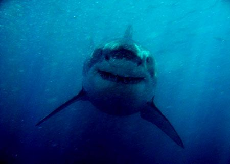 The greatest shark in the world, photographed in south af... by Andy Casagrande Iv