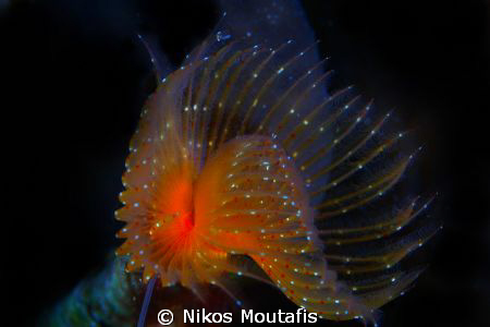 a new borned spyrobranchus by Nikos Moutafis