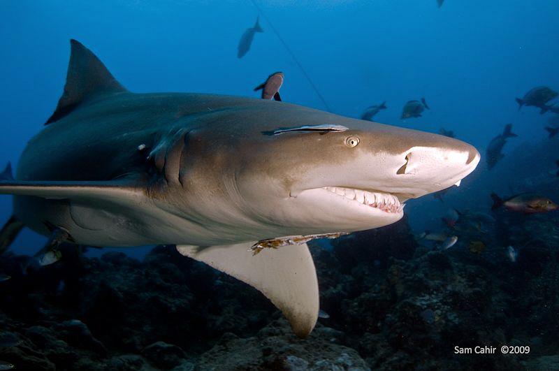 Siclefin Lemon Shark on Patrol!! She's obviously just eat... by Sam Cahir