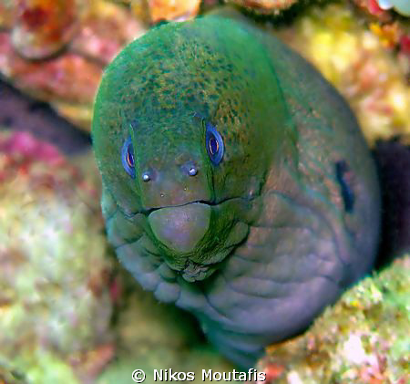 the famous green moray by Nikos Moutafis