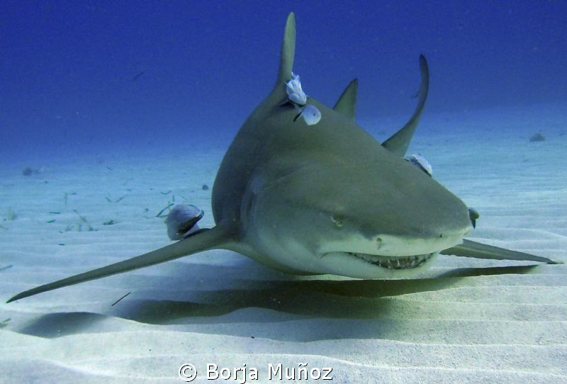 Lemon shark with few friends face by Borja Muñoz