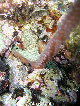 Curious octopus  Shot from Karaburun/İzmir/Turkiye   by Alp Baranok