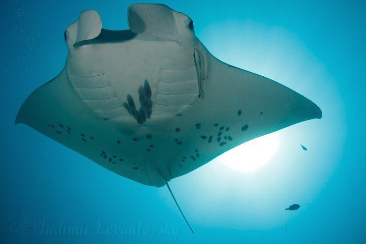 Manta ray, swimming overhead against the sun in the backg... by Vladimir Levantovsky