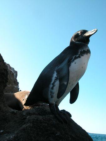 Galapagos Penguin. This photo was taken in Bartolome,Gal... by David Gallardo