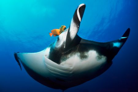 On a trip to the Socorros, it seemed the mantas were deli... by Erin Quigley