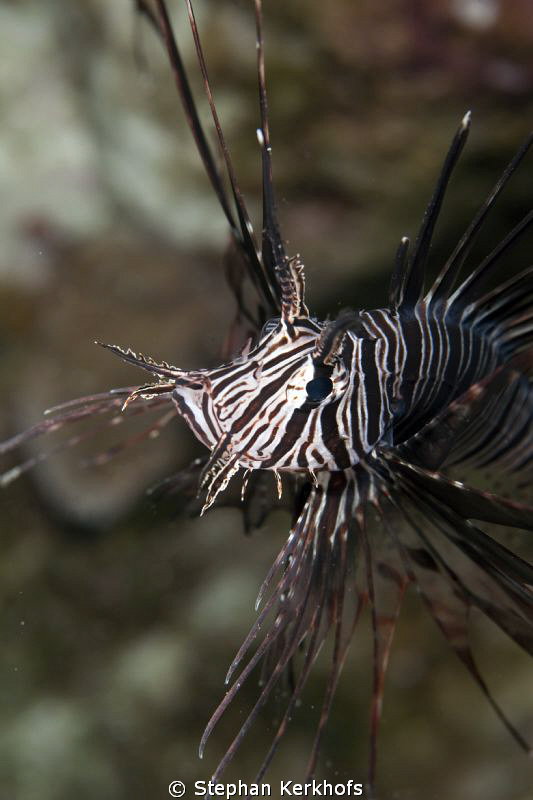 Clearfin lionfish was posing at Shark Observatory. by Stephan Kerkhofs
