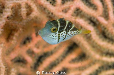 A teeny tiny saddled toby hiding amongst a gorgonian fan.... by Tammy Gibbs