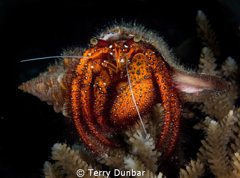 large hermit crab, very accomadating, he/she just sat the... by Terry Dunbar