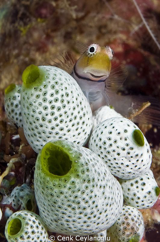 Blenny poses for me by Cenk Ceylanoglu