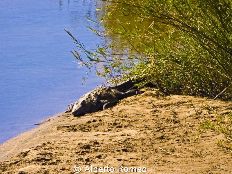Sleeping crocodile in Kruger Park by Alberto Romeo