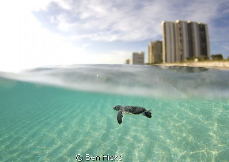 baby sea turtle by Ben Hicks