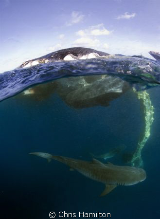 What luck! I came across these tiger sharks devouring a s... by Chris Hamilton
