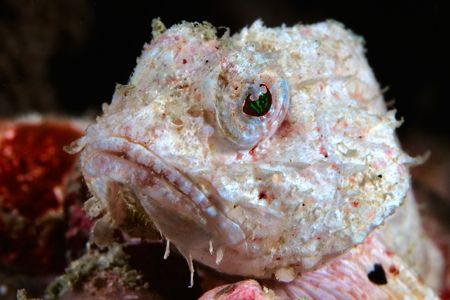 This albino devil scorpionfish caught my eye during a div... by Erin Quigley