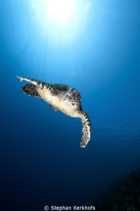Hawksbill turtle out in the blue! by Stephan Kerkhofs