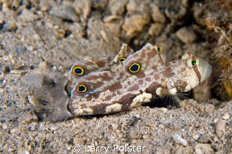 Signal Goby with his mate ready to run. D300-60mm by Larry Polster