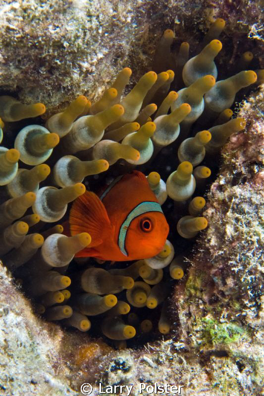 I've only found red sea anemone in the Solomon Islands, i... by Larry Polster