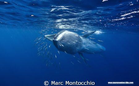 A Bryde's whales attempts to swallow and entire sardine b... by Marc Montocchio