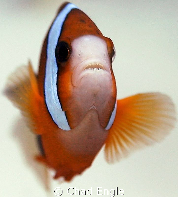 Never knew the chompers on cute little clown fish were so... by Chad Engle 