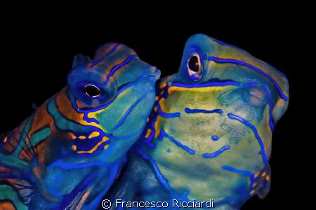 Mating mandarinfish by Francesco Ricciardi