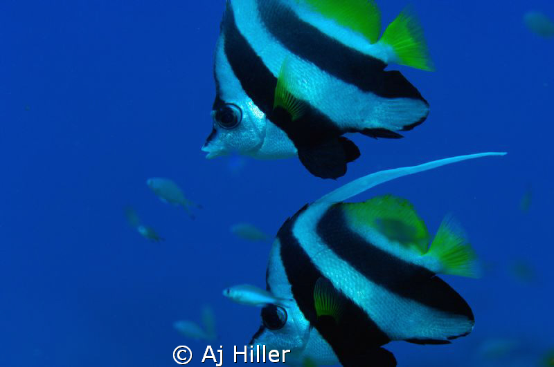 Two bannerfish float peacefully in the South Pacific blue... by Aj Hiller