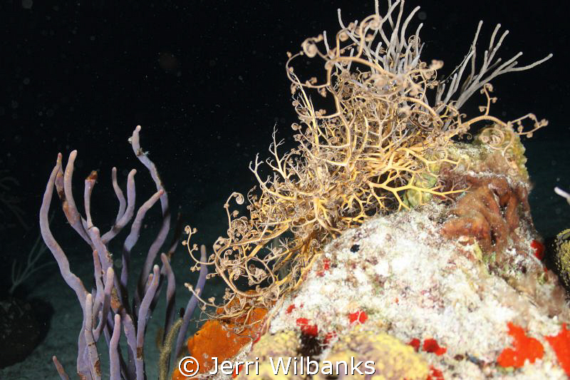 Giant Basket Star out for a night feeding frenzy. The unf... by Jerri Wilbanks