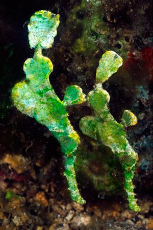 Halimeda pipefish of the Lembeh Straits, Sulawesi, Indone... by Erin Quigley