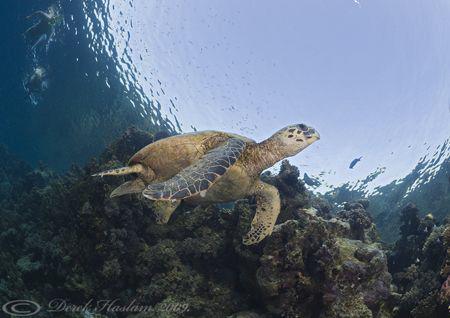 Hawksbill turtle. D3, 16mm. by Derek Haslam