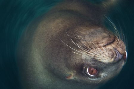 Which way is up? California Sea Lion executes manuever 27... by Erin Quigley