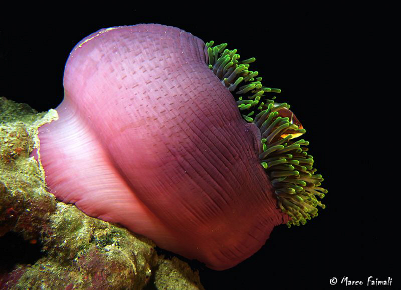 Pink anemonefish (Amphiprion perideraion) in magnificent ... by Marco Faimali