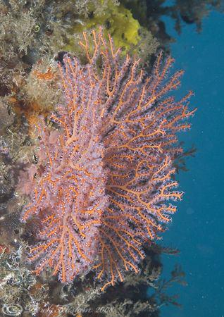 Sea fan on pier leg. Lembeh straits. D200, 60mm. by Derek Haslam