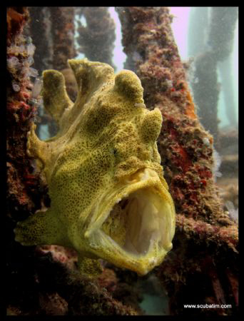 Yawning Frog Fish - standard Canon, no lenses, no strobes... by Tim Ho