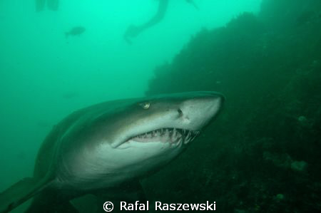 Raggie shark, Port Elizabeth South Africa, December.D70,N... by Rafal Raszewski