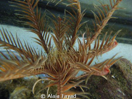 This is a type of sea star, still looking for the name :P by Alaia Fayad