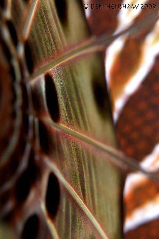 LionArt - Extreme close up of the fin of a Lionfish by Debi Henshaw