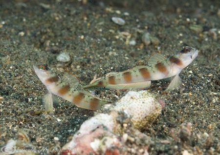 Red margin shrimp goby's. Lembeh straits. D200, 60mm. by Derek Haslam