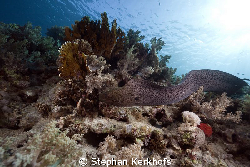 Free swimming Giant Moray at the back of Shark reef. by Stephan Kerkhofs