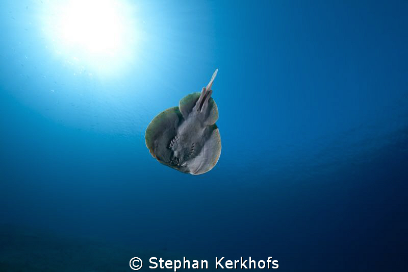 Leopard torpedo ray taken in full flight! by Stephan Kerkhofs