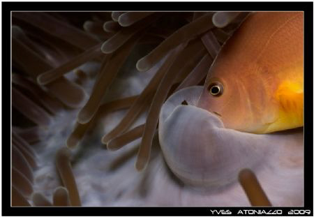 Feeding clownfish my first witnessing of that event, cool... by Yves Antoniazzo
